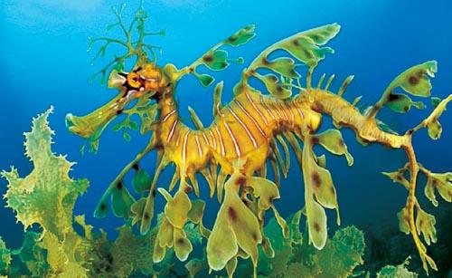 Leafy-Sea-Dragon-natgeo-hirz-4tlr